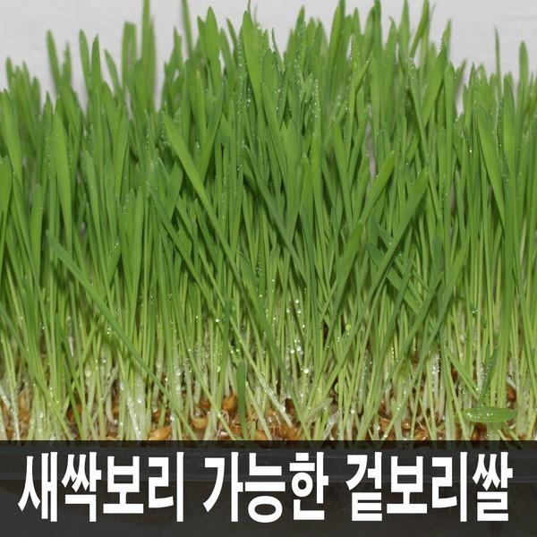 2020새싹용겉보리씨앗20kg//보리쌀/밀//엿질금용식혜