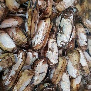녹동수산 순천만 별량 맛조개1kg(30~40미내외)