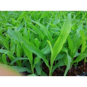 대학찰 옥수수모종 5주(5개)/백찰(흰찰)옥수수모종