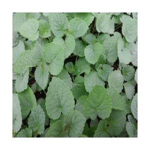 방아모종 10주(10포기)/방아잎 모종/배초향모종