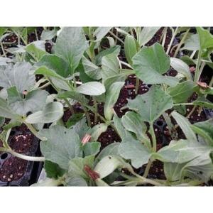 박모종 10주(10포기)/큰박/둥근박/참박/식용박모종
