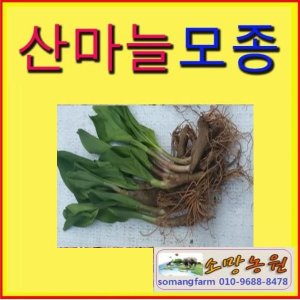(소망)산마늘모종(약4년생)50촉/명이나물모종판매