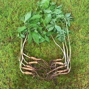 산들산양산삼 5-6년근 15뿌리 산삼 산양삼 건강식품