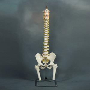 척추모형  인체실습모형 수입전문
