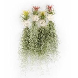 갑조네 화이트볼 미니 수염틸란드시아(랜덤) 행잉식물