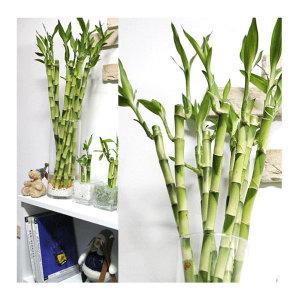 개운죽20~30cm(10개)실내 공기정화식물 수경재배 수중