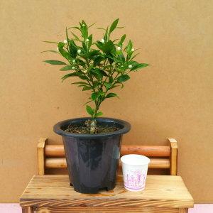 소나무집 향긋한  한라봉 나무  꽃 열매  선물 1991