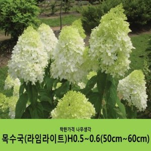 목수국라임라이트H0.5~0.6(50cm~60cm)/ 분묘