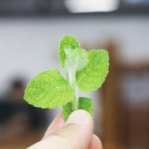애플민트 생잎 10g 모히또 칵테일용 허브