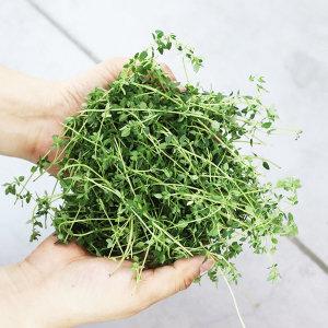 타임 생잎 10g 허브 가니쉬 (Thyme)