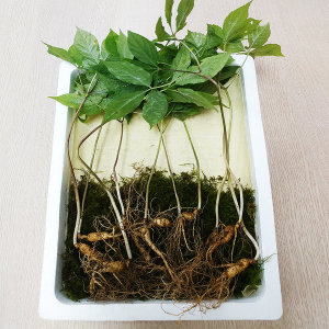 5-6년근 작은 산양산삼(소삼) 10뿌리 복날특집