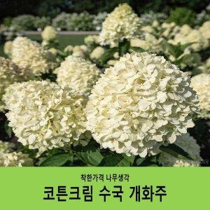 코튼크림수국 개화주/1주