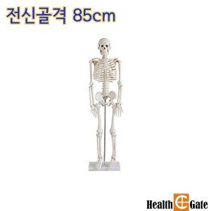 인체골격모형 인체모형 전신골격 85cm 102