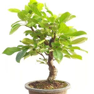 아기 미니 애기 꽃 사과 나무 소형 분재 묘목 열매