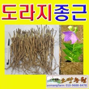 N(소망)도라지 종근 1kg(2년생 100개 이상)도라지모종