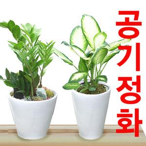 공기정화식물 돈나무/산세베리아/행운목 대형식물