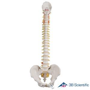 3B Scientific 인체모형 척추모형 A58/1 기본형