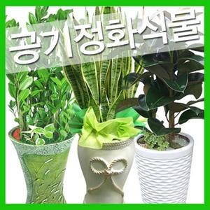 공기정화식물 돈나무 산세베리아 행운목 전국배송화분