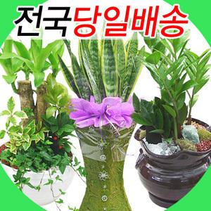 공기정화식물 산세베리아/돈나무/행운목/고무나무