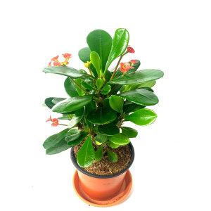 공기정화 초화식물 꽃기린 외 50종