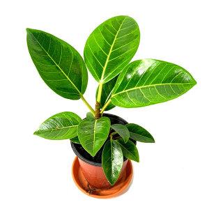 공기정화 초화식물 뱅갈고무나무 외 50종