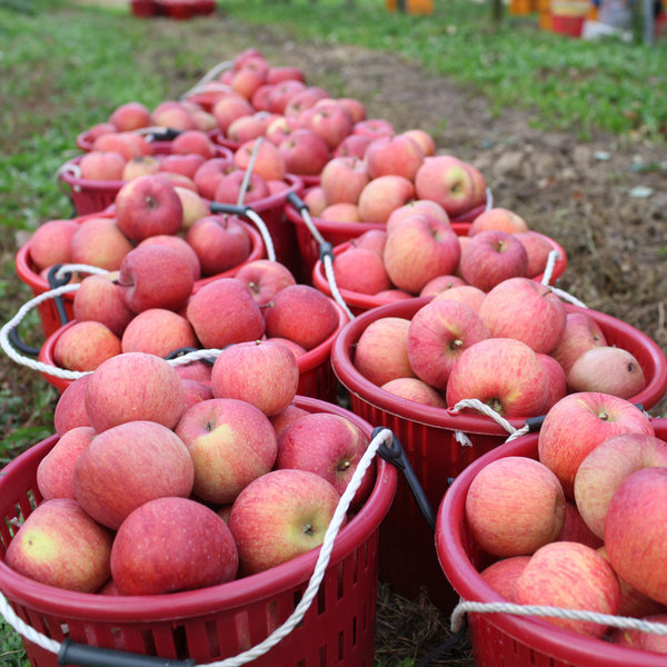아삭아삭 사과 햇부사 5kg 25~30과 꼬꼬마사과 가정용
