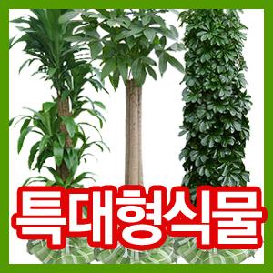 [초특가세일 87000원]특대형 2M 관엽식물/개업 이전 행사/행운목·킹벤자민·파키라