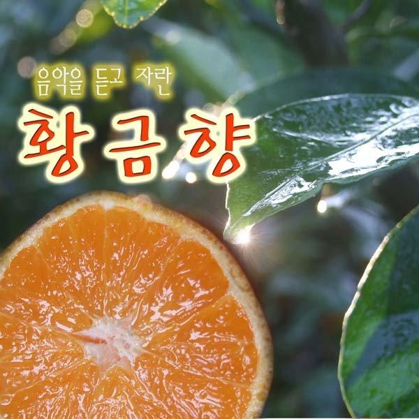 황금향 뮤직황금향 선물용 3kg (13~15과)