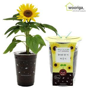 컵가든 미니해바라기/미니화분키우기 꽃 공기정화식물