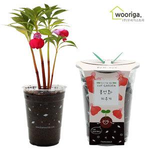 컵가든 봉선화 /미니화분키우기 꽃 화초 공기정화식물