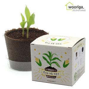 팜팜농장 옥수수 /미니화분키우기 꽃 새싹 화분 텃밭