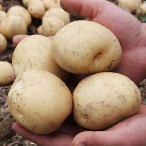 (수량한정) 20년 수미 감자 5kg(중) 6900원