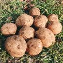 미소진 2020년 국내산 제주 감자 (대) 5kg