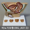 비뇨기모형 (BG_A013) 남자전립선모델 방광 요도 고환