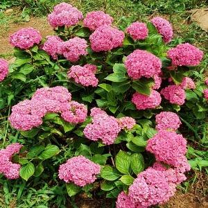 수국 꽃 나무 묘목 분홍색
