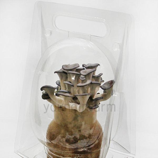 느타리버섯 키우기 세트 5개/종균 5개+재배키트 5개