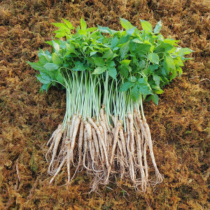 담양 새싹삼 미니 50뿌리 (15cm전후) (선물포장 가능)