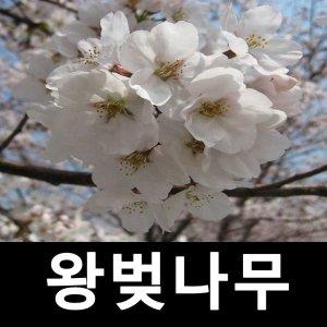 왕벚나무 묘목 접목1년 특묘 키180cm 3주묶음