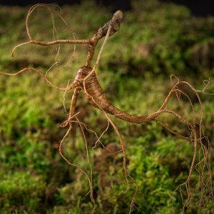 산양 산삼(14년근 전후 1세트 10뿌리) 백두산 자연삼
