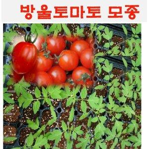 모종/ 방울토마토 모종 10개   MJ20