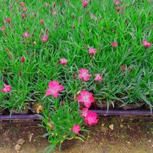 사계패랭이 꽃모종 (포트30개/한판)노지월동 야생화