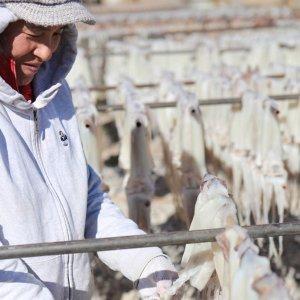 구룡포 당일바리 햇 9월 마른오징어 대10미 750g내외
