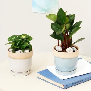 실내공기정화식물 소형화분 완제품 야자류 관엽식물