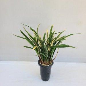 온누리농원 금황 공기정화식물 반려식물