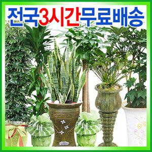 산세베리아.관음죽.관엽식물/개업집들이/공기정화식물