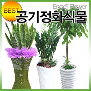 인기폭발 공기정화식물 초특가  전국무료배송꽃배달