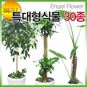 초특가 2M 특대형식물 당일2시간배송/행운목·파키라
