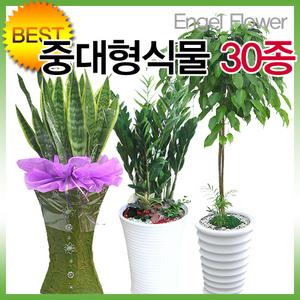 인기폭발 공기정화식물 초특가 산세베리아/꽃배달