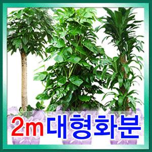 2m대형화분 이전개업화분/관엽식물/집들이/전국꽃배달