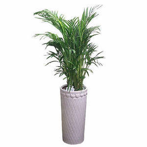 아레카야자  공기정화식물.